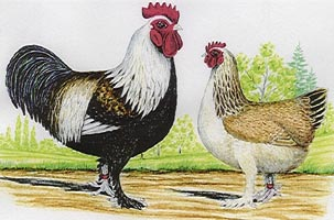 http://pagesperso-orange.fr/volaillepoultry/photo/meusiennes.jpg